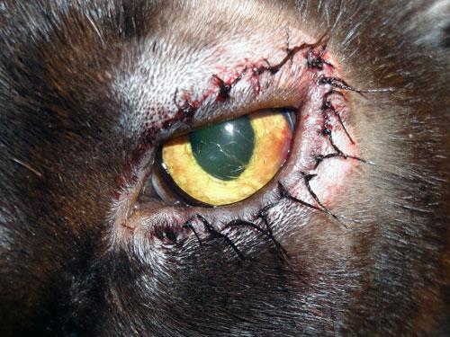 Швы, накладываемые на веко в процессе операции впоследствии снимаются ветеринаром