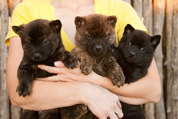 Дрессировка собак породы Кай-Кен должна начинаться с раннего возраста