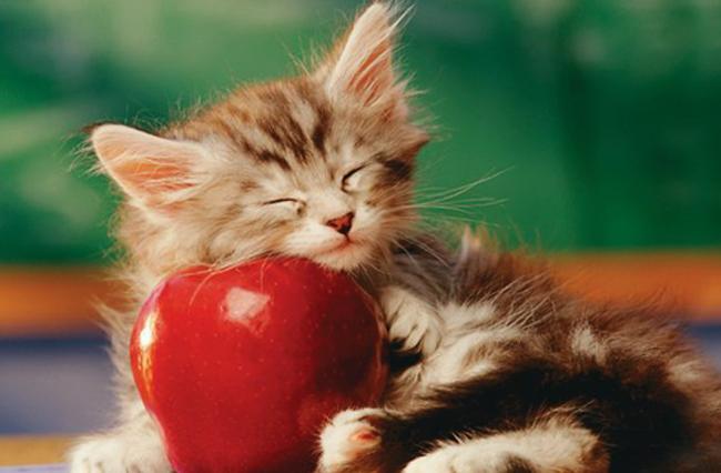 Яблоки можно давать котятам только в виде пюре