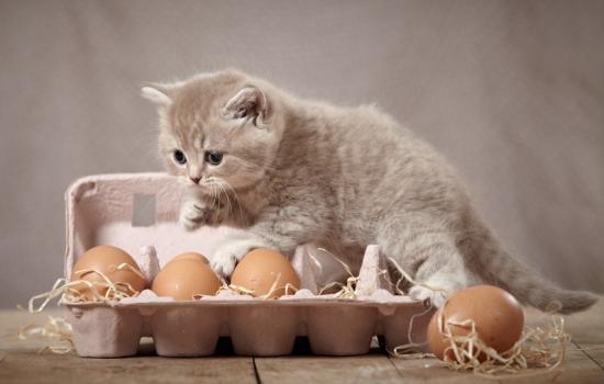 Яичный желток можно давать котенку как самостоятельное блюдо и как компонент каши