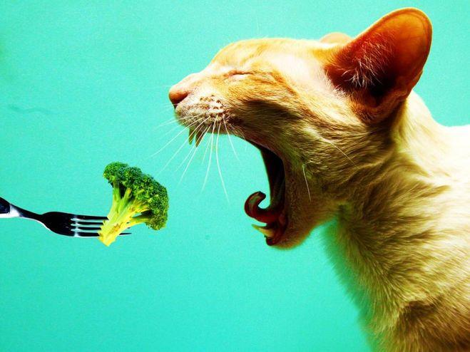 Беременным кошкам нежелательно давать овощи в силу их плохой перевариваемости