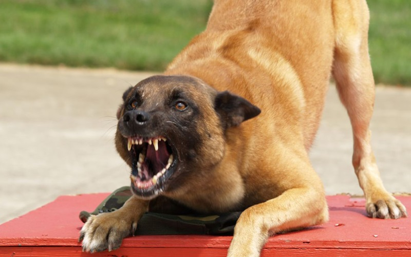 Высоко поднятый напряженный хвост свидетельствует о возможном скором нападении животного