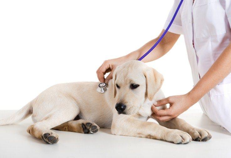 Диабетом может заболеть даже совершенно здоровая и крепкая собака