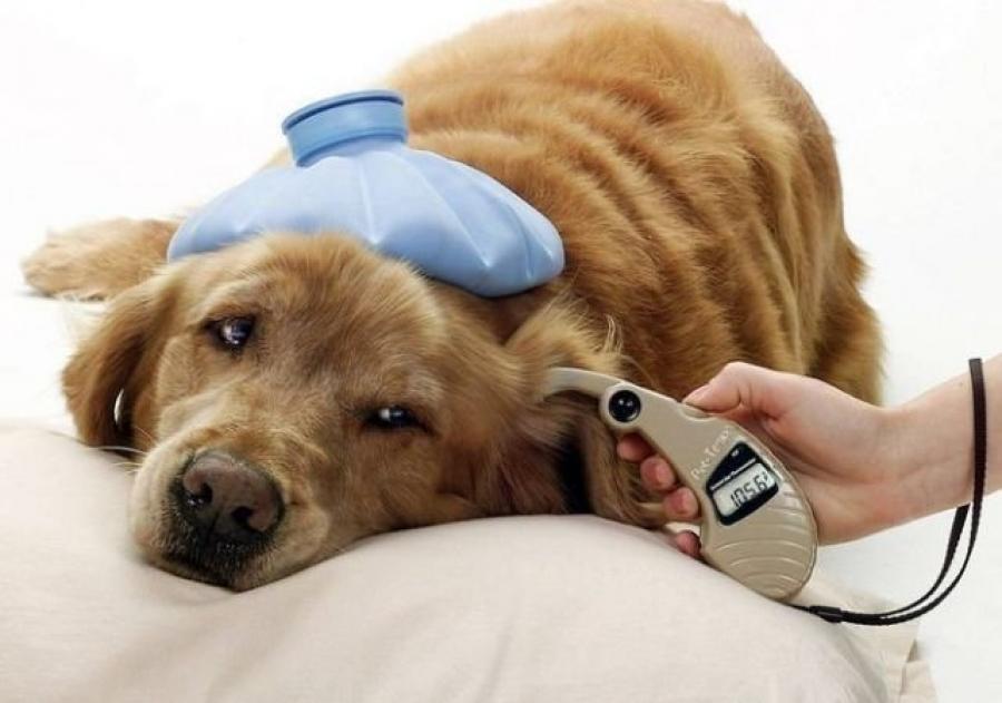 Для подбора подходящего медикамента ветеринар на протяжении нескольких дней анализирует уровень глюкозы в крови животного