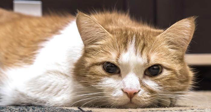 Иногда кошки заболевают коронавирусом и выздоравливают незаметно для хозяина