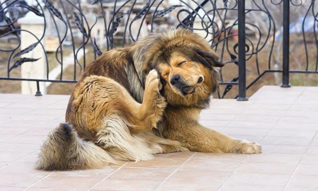 Как и аллергия, заражение эктопаразитами вызывает у собаки навязчивое желание расчесать кожу до крови