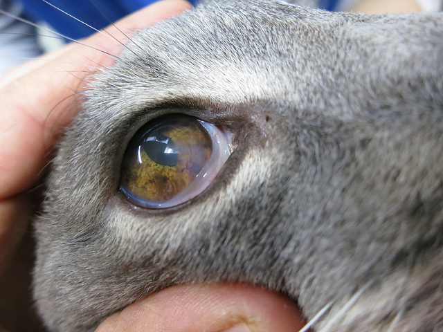 Коронавирус иногда протекает у кошек при участии кератита