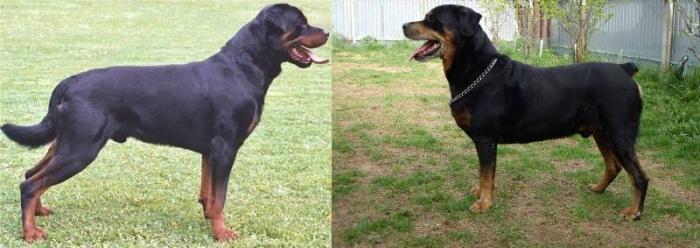Купирование хвоста до и после