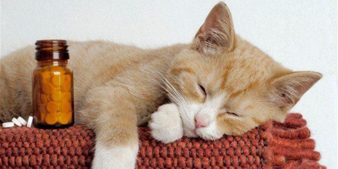 Лечение коронавируса направлено на борьбу с сопутствующими осложнениями и на стабилизацию самочувствия кошки