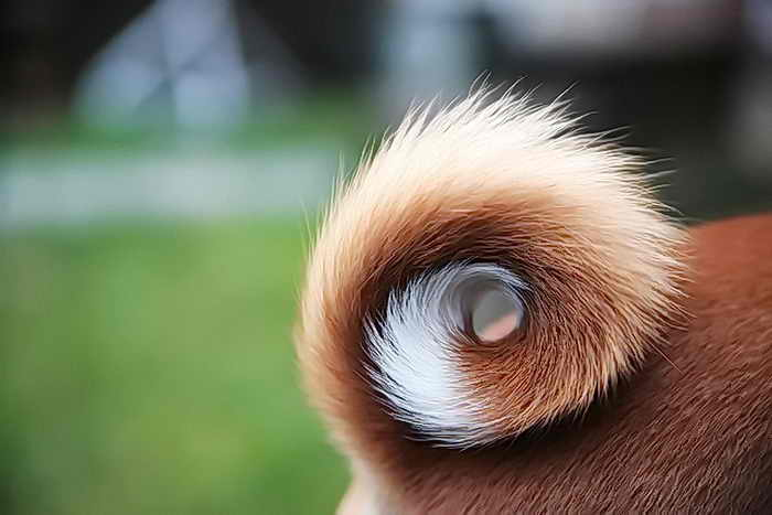 Навязчивое преследование своего хвоста может свидетельствовать о наличии психических патологий у собаки