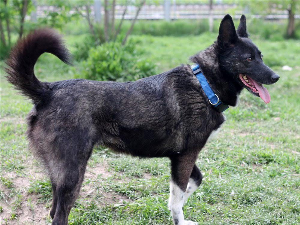 Обрадованная собака совершает беспорядочные движения хвостом