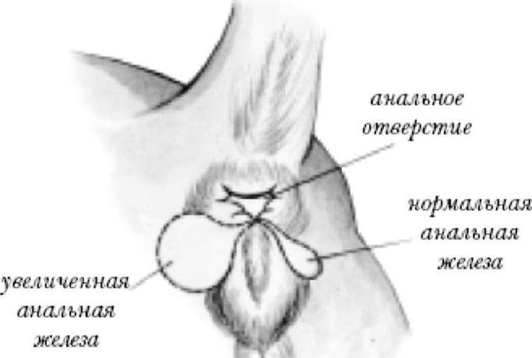 Параанальные железы требуют периодического ухода, который позволяет избежать их воспаления