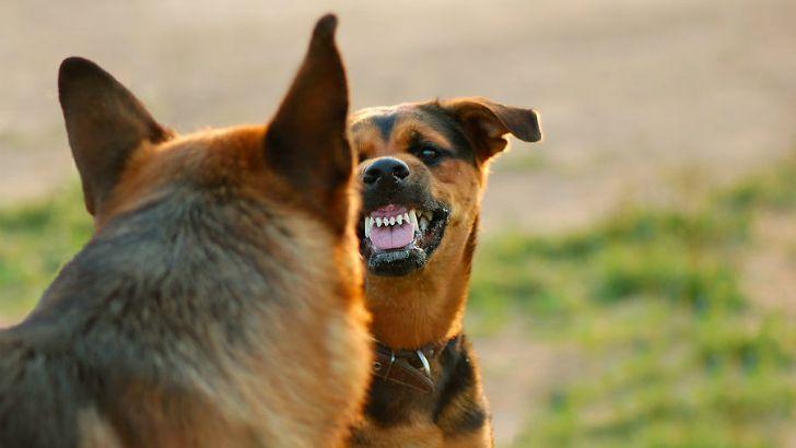 Перед нападением собака постепенно начинает скалить зубы