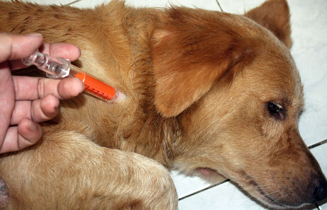 При гипогликемии животному требуется срочная инъекция глюкозы
