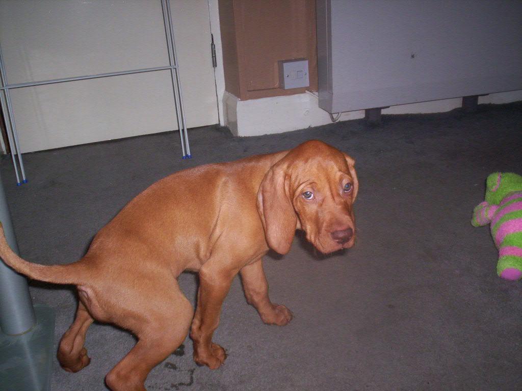 Собака-диабетик нередко начинает мочиться дома, поскольку просто не успевает дотерпеть до улицы