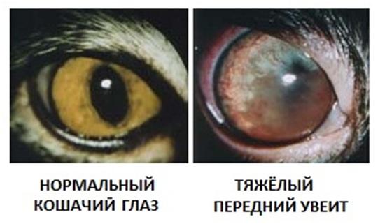 Сравнение здорового и болезненного глаз кошки