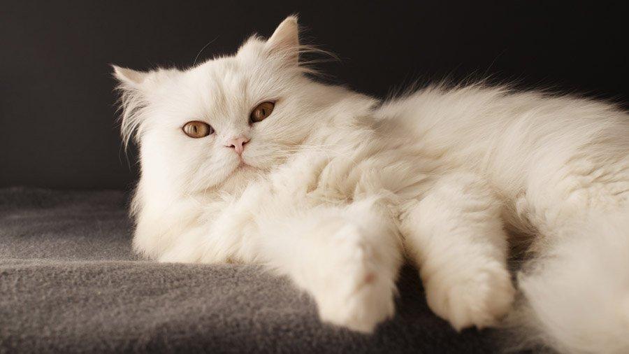 У некоторых породистых кошек шансы столкнутся с патологией глаз выше
