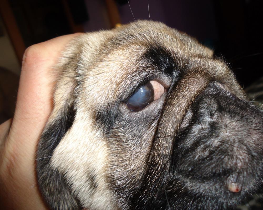 У собак-диабетиков на фоне болезни нередко ухудшается зрение