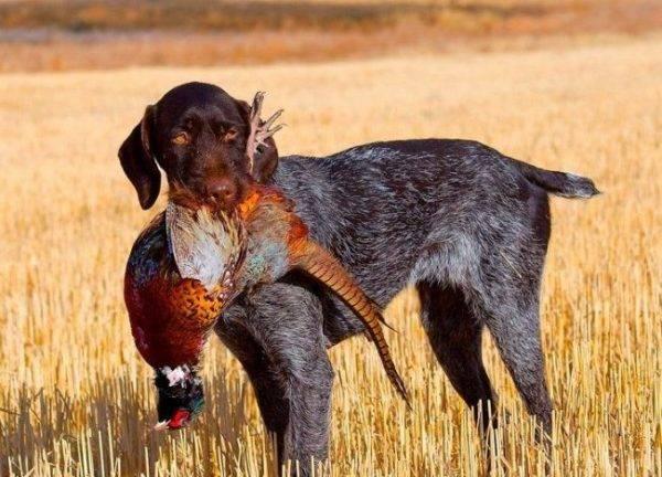 У собак, чей хвост купирован, определить настроение сложнее