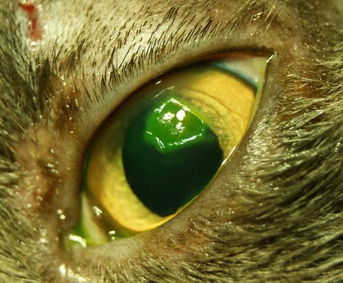 Флюоресцеин позволяет более детально рассмотреть возможные повреждения и язвы глаза