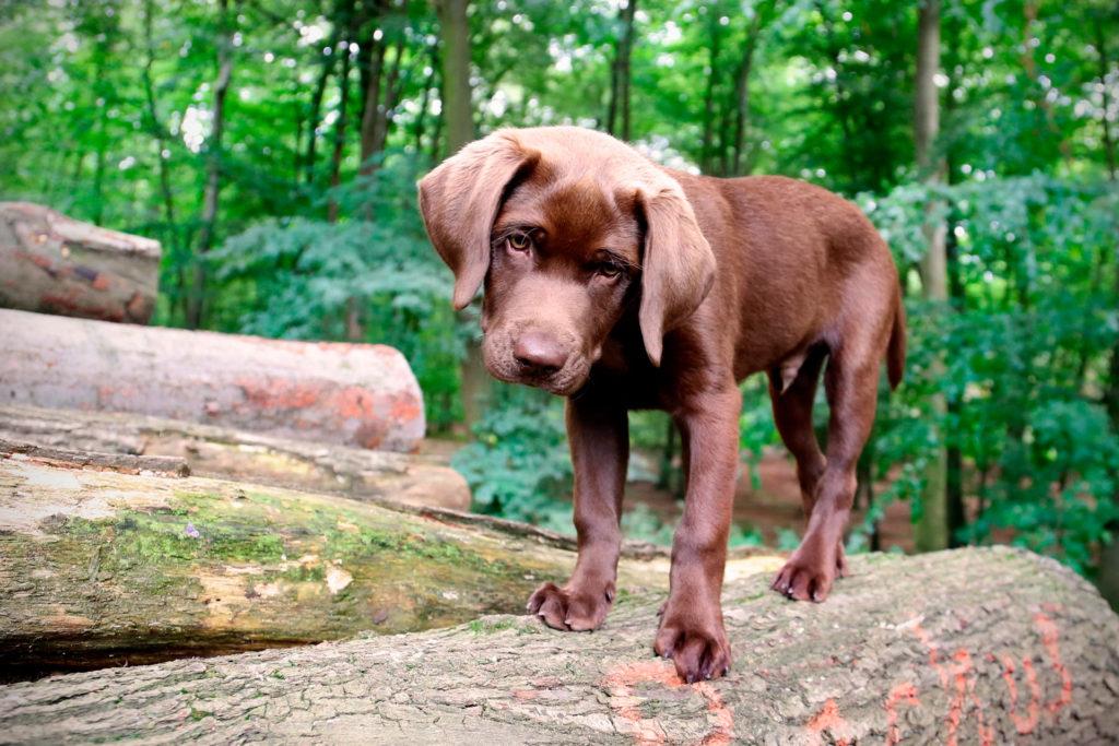 Хвост помогает собакам сохранять равновесие