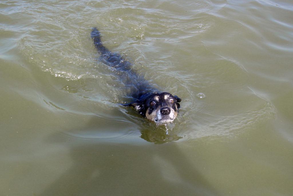 Хвост помогает собаке оставаться на плаву
