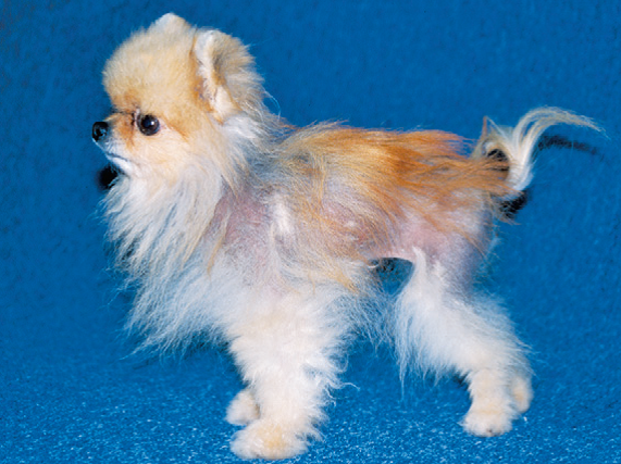 Часто облысение становится следствием неправильного ухода за собакой
