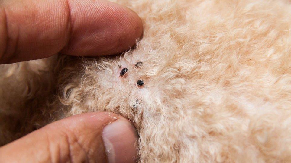 Эктопаразиты наносят значительный вред кожным покровам собаки и постепенно лишают ее шерсти